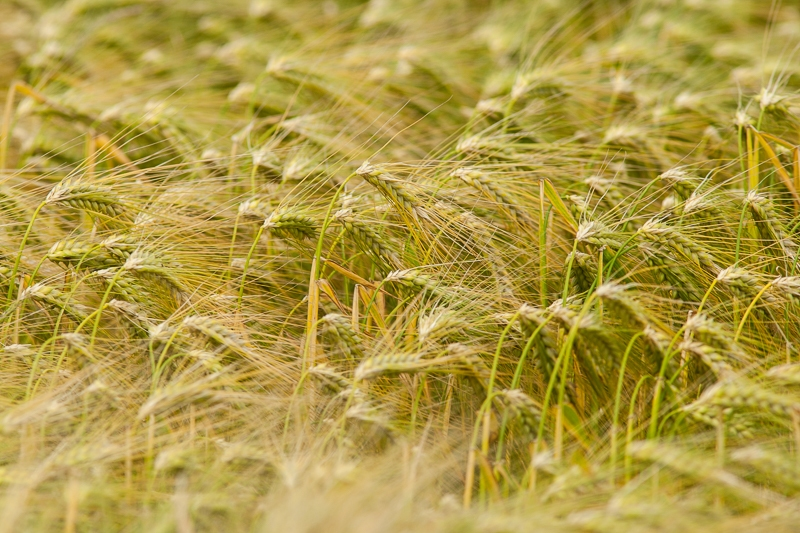 Pastorieweg, Nieuw Scheemda 05.07.2013 (Canon EF 300mm f/4L IS USM + Canon EF 1.4x II Extender)